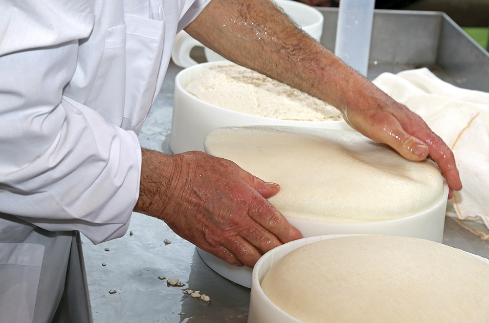 hand of expert senior cheesemaker controls the wheel of cheese just made in the mountain dairy